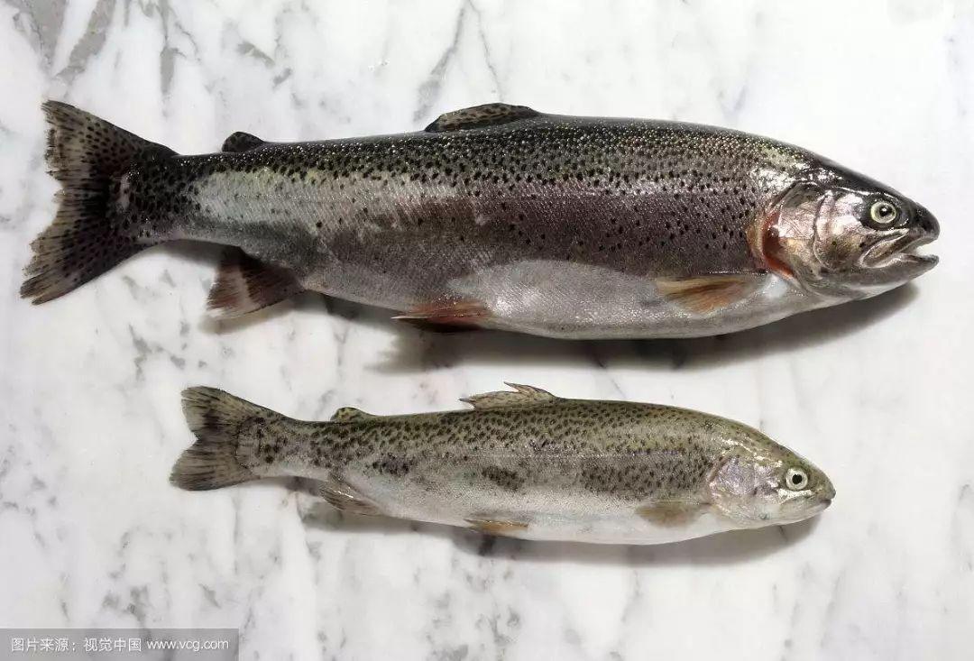 comparación entre el salmón y la trucha arcoiris